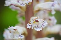 Flowers of Orobanche spec., San Marino.