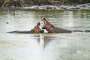 Hippos in a pond, 2 males with wide open jaws,  Photographed in Serengeti National Park, Tanzania