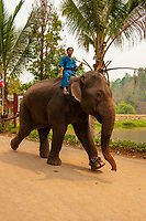 Riding elephants, Thai Elephant Conservation Center (National Elephant Institute), Lampang, near Chiang Mai, Northern Thailand