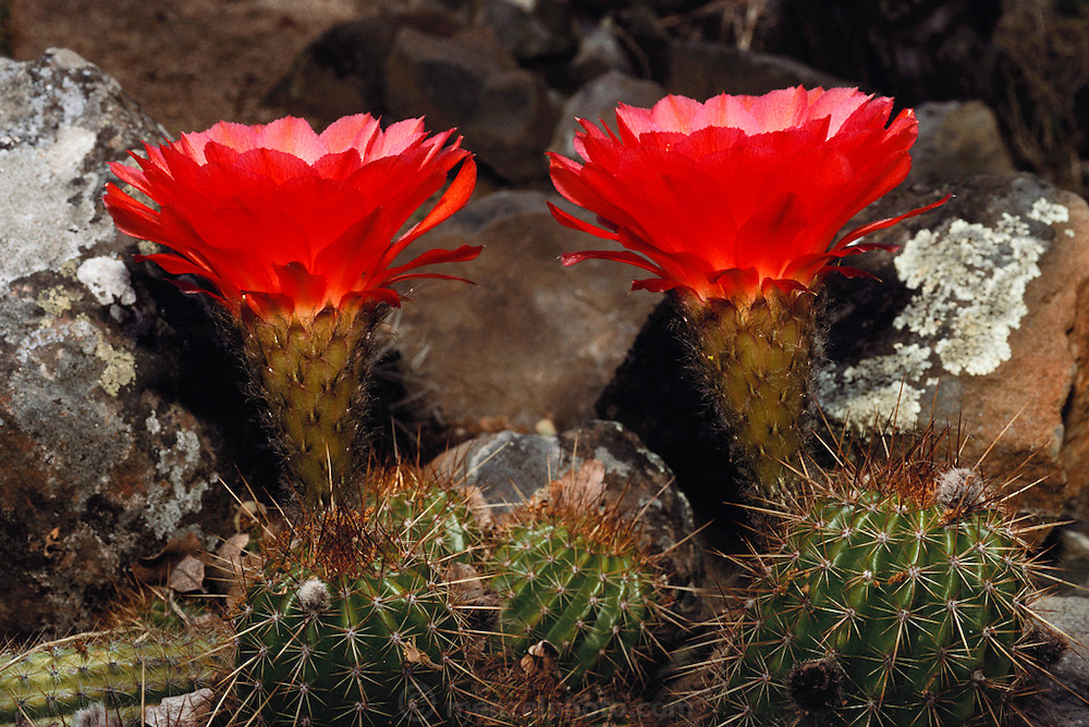 Cactus flowers in a garden in Napa, California.