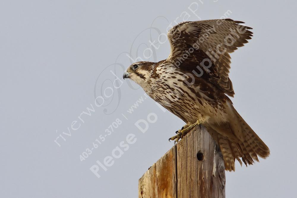 A prairie falcon observes its territory from a high perch.  East of Calgary near Langdon, Alberta, Canada