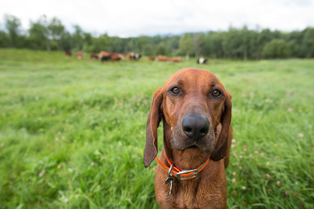 Coonhound in a pasture with cattle