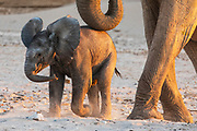 A female desert elephant rests her trunk on her young calf (Loxodonta africana cyclotis) while walking through the sandy Hoanib river bed, Skeleton Coast, Namibia