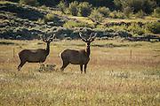Bull elk (Cervus elpahus) seen near the Nez Perce encampment at Big Hole National Battlefield, Montana.