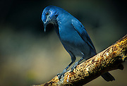A pinyon jay (Gymnorhinus cyanocephalus) photographed in the central Oregon high-desert, in a transition zone between ponderosa pine forest and sage brush desert.