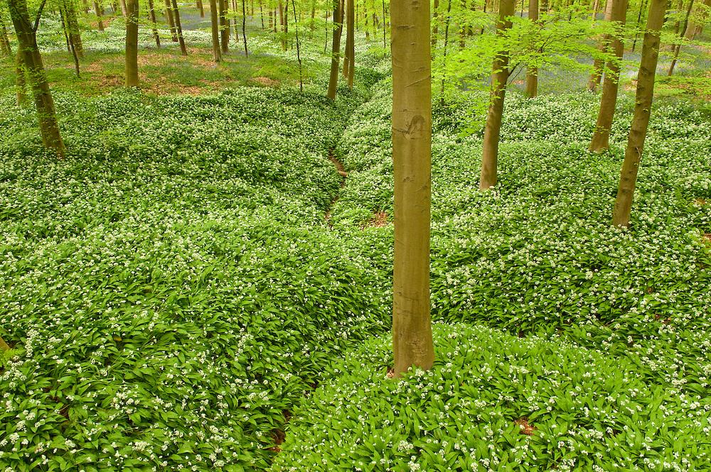 Bird's eye perspective on Hallerbos forest ground carpeted with wild garlic Allium ursinum, Belgium