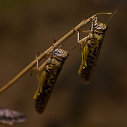 Grasshopper as part of the stocktake at the London zoo on the 3rd January 2017,UK. Photo by See li/Picture Capital