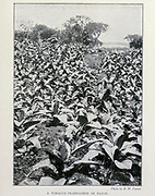 A Tobacco Plantation In Natal From the Book '  Britain across the seas : Africa : a history and description of the British Empire in Africa ' by Johnston, Harry Hamilton, Sir, 1858-1927 Published in 1910 in London by National Society's Depository
