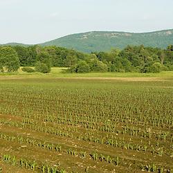 A corn field in Easthampton, Massachusetts.  Echodale Farm.  Mount Tom is in the distance.