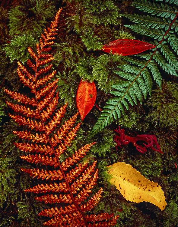 Fern leaves, fungi, tree leaves, and rainforest ground cover near Fox Glacier on the South Island of New Zealand.