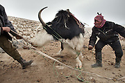 Putting a rope through the nostrils of a yak, to lead him..At the shepherd place of Aq Jilga, one of the first Kyrgyz camp when you  arrive in the plateau. Near Bozoi Gumbaz...Trekking through the high altitude plateau of the Little Pamir mountains, where the Afghan Kyrgyz community live all year, on the borders of China, Tajikistan and Pakistan.