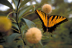 Stock photo of a butterfly feeding on a flower