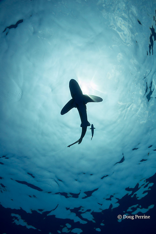 silhouette; of oceanic whitetip shark, Carcharhinus longimanus, with a small sharksucker or remora, and commensal pilot fish, Naucrates ductor, swimming in open ocean waters off the Kona Coast of Hawaii Island ( the Big Island ), Hawaiian Islands, U.S.A. ( Central Pacific Ocean )