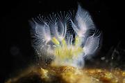 Bryozoa (Lophopus crystallinus) attached to pebble in freshwater river, Germany   Moostierchen (Lophopus crystallinus) leben in Fließgewässern auf Steinen. Sie werden auch Bryozoa oder Polyzoa genannt. Deutschland