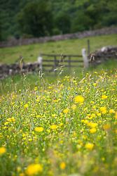 Buttercups in a field in Yorkshire. Ranunculus acris