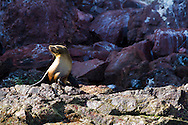 A young sea lion hauled out on the rocks on San Pedro Martir in the Sea of Cortez, Baja California Mexico
