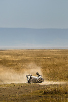 A lone Burchell's Zebra enjoying a dust bath in the Ngorongoro Crater, Tanzania