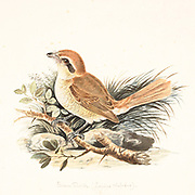 "The brown shrike (Lanius cristatus) is a bird in the shrike family that is found mainly in Asia. It is closely related to the red-backed shrike (L. collurio) and isabelline shrike (L. isabellinus). The genus name, Lanius, is derived from the Latin word for ""butcher"", and some shrikes are also known as ""butcher birds"" because of their feeding habits. The specific cristatus is Latin for ""crested"", used in a broader sense than in English. The common English name ""shrike"" is from Old English scríc, ""shriek"", referring to the shrill call. 18th century watercolor painting by Elizabeth Gwillim. Lady Elizabeth Symonds Gwillim (21 April 1763 – 21 December 1807) was an artist married to Sir Henry Gwillim, Puisne Judge at the Madras high court until 1808. Lady Gwillim painted a series of about 200 watercolours of Indian birds. Produced about 20 years before John James Audubon, her work has been acclaimed for its accuracy and natural postures as they were drawn from observations of the birds in life. She also painted fishes and flowers. McGill University Library and Archives"