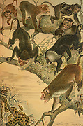 The macaques constitute a genus (Macaca) of gregarious Old World monkeys of the subfamily Cercopithecinae. The 23 species of macaques inhabit ranges throughout Asia, North Africa, and (in one instance) Gibraltar. From the book ' Royal Natural History ' Volume 1 Edited by  Richard Lydekker, Published in London by Frederick Warne & Co in 1893-1894