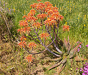 Aloe vera succulent cactus plant flowering, orange flowers, Rogil, Algarve, Portugal, Southern Europe