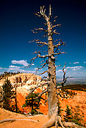 UTAH, BRYCE CANYON NAT. PARK Bristlecone pines growing on an exposed ledge, one of the world's oldest growing things