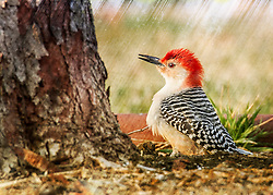 Red-Bellied Woodpecker In The Rain The Other Day