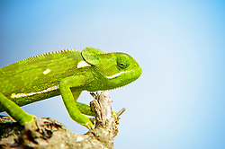 , South Africa - 9/24/2014 - The Flap-necked chameleon (Chamaeleo dilepis), is native to sub-Saharan Africa. It is a large chameleon, reaching 35 cm (14 in). Colouring ranges through various shades of green, yellow, and brown. There is usually a pale stripe on the lower flanks and one to three pale patches higher on the flanks. These chameleons lay 25 to 50 eggs in a hole dug in soil, which is covered over again by the female.(Photo by Shannon Wild/VWPics) *** Please Use Credit from Credit Field *** *** Please Use Credit from Credit Field ***