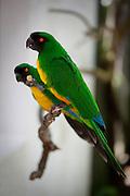 Sulpher-Breasted Musk Parrot, Prosopeia personata, Kaka, Kula Eco Park, Vitu Levu, Fiji