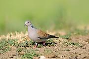 Turtle Dove (Streptopelia turtur) walking on ground, Bulgaria