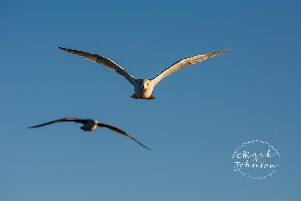 Seagull in flight, Chatham Strait, Alaska, USA