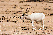 Addax (Addax nasomaculatus) in the Negev desert, Israel. Looking to camera