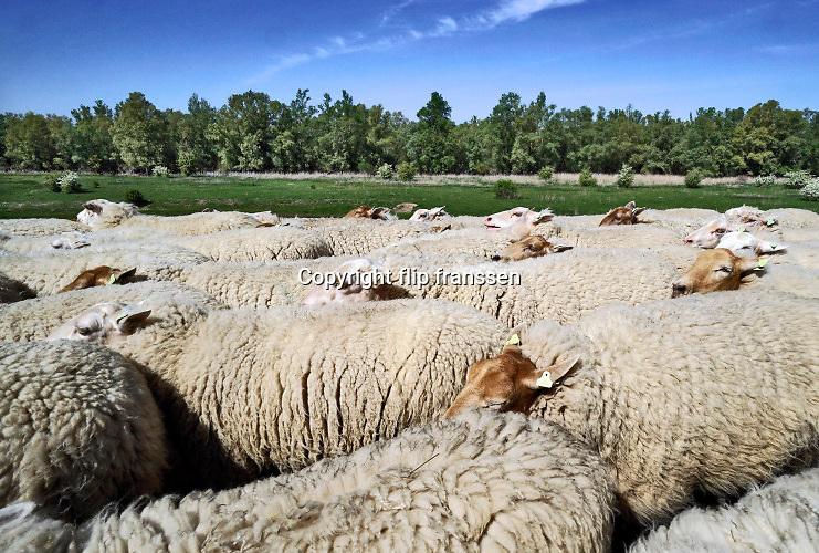 Nederland, Leuth, 24-4-2020  Over de dijk loopt een schaapskudde, kudde schapen .Foto: Flip Franssen