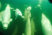 Whale, Beluga (Delphinapterus leucas) White. Underwater Wild. Churchill River, Manitoba, Canada.