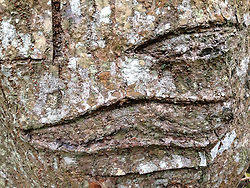 Bark Detail, Iao Valley State Park, Maui, Hawaii, US