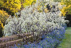 Wisteria floribunda 'Alba' in bud at Sissinghurst Castle Garden
