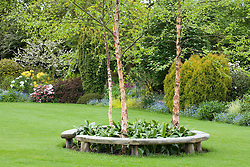Curved bench seats around three birch trees - Betula nigra 'Heritage' in John Massey's garden in spring