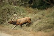 Rutting Bull Elk charging, Blurred motion