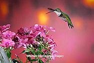 01162-061.16 Ruby-throated Hummingbird (Archilochus colubris) female at Garden Phlox (Phlox paniculata) Shelby Co. IL