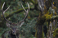 Red deer stag, Cervus elaphus, besides a tree at Laba He National Nature Reserve, Sichuan, China