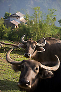 A pair of curious buffalos in the village of Dhampus, along the Annapurna Sanctuary Trek, Himalaya Mountains, Nepal.