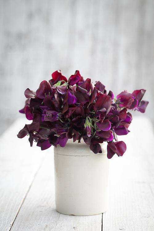 Lathyrus odoratus 'Almost Black' - sweet pea arrangement in small earthenware jar