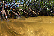 Red Mangrove (Rhizophora mangle)<br /> Lighthouse Reef Atoll<br /> BELIZE, Central America
