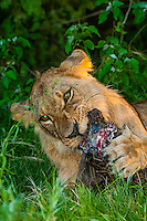 Female lion eating carcass of a wildebeest, Kwara Camp, Okavango Delta, Botswana.