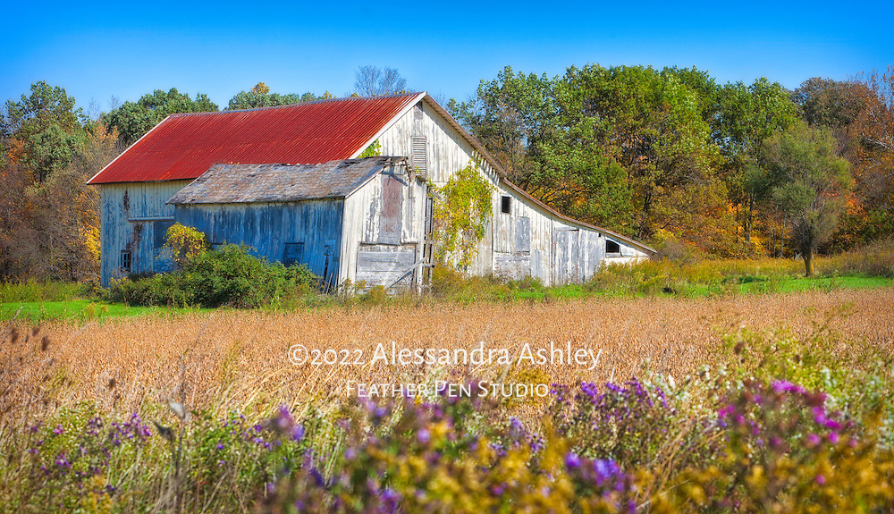 Ramshackle barn with wild asters and cornfield in early autumn on midwestern country road.