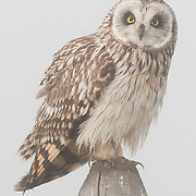 Short-eared owl (Asio flammeus) sitting on a fence post in the fog. Ninepipe National Wildlife Refuge, Montana