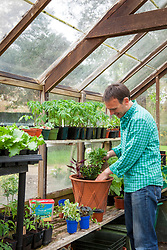 Planting up a summer container in a greenhouse ready to take outside after danger of frost has passed