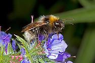 Barbut's Cuckoo Bumblebee - Bombus barbutellus - female on Viper's Bugloss