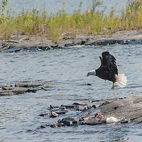 A Bald Eagle (Haliaeetus leucocephalus) fishes off of a rock in Lake of the Woods, Ontario, Canada.