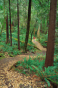 Hiker in red jacket on the Schrader Old Growth Trail, Siskiyou National Forest, California