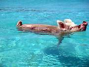 """Pigs swim in sea in Bahamas<br /> Swimming pigs have been photographed taking a dip in the tropical waters of the Bahamas.<br /> <br /> The family of brown and pink boars and piglets live freely on the sandy white beaches and even swim in the surf on Big Major Spot Island.<br /> They are such a familiar sight at the spot that locals have named the area """"Pig Beach.""""<br /> And they were snapped by underwater photographer Christopher Dorobek who stumbled across the unusual residents during a diving expedition.<br /> """"We were in the southern Bahamas to photograph oceanic white-tip sharks,"""" <br /> """"Our captain, Jim Abernethy, had heard that there were pigs on Big Major so we decided to go and check it out.<br /> """"Upon approaching the white sandy beach, it is easy to spot the pigs - both pink and dark brown - laying in the sand.<br /> """"You never know what you'll see when you're out tracking down wildlife.""""<br /> Pigs are omnivorous animals found throughout Africa, Europe and Asia. However one species, the domestic pig (Sus Scrofa), are found almost worldwide as a domestic and feral species.<br /> """"I'm not sure how these domestic pigs (gone feral) came to live on this particular beach in the Bahamas, but they are well-known to locals, who have been feeding them for years,"""" says Mr Dorobek .<br /> """"Because locals bring food, the pigs will run into the water and actually swim out to the oncoming boats, as if to greet them individually.<br /> """"It is strange enough to see pigs laying around on tropical beaches of white sand, but to see them then charge into the water to greet oncoming boats is just bizarre.""""<br /> ©Christopher Dorobek/Exclusivepix"""